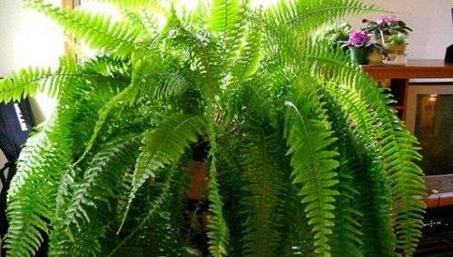 Boston helecho - Top 10 Plantas de interior de la NASA para mejorar la calidad del aire interior Aprobado