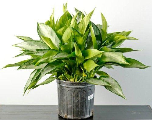Evergreen Chinese - Top 10 Plantas de interior de la NASA para mejorar la calidad del aire interior Aprobado