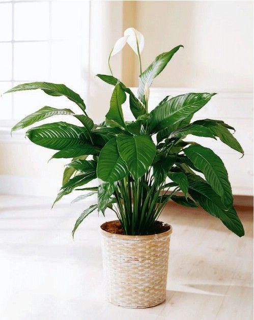 Lily Paz - Top 10 Plantas de interior de la NASA para mejorar la calidad del aire interior Aprobado