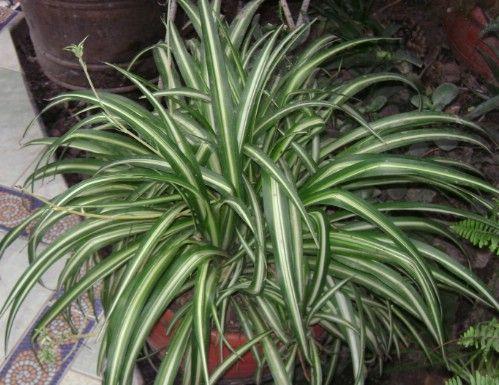 Planta de araña - Top 10 Plantas de interior de la NASA para mejorar la calidad del aire interior Aprobado