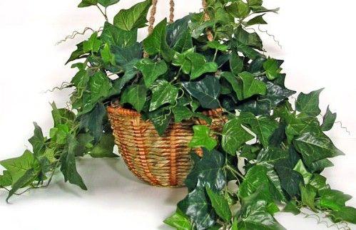 Inglés Ivy - Top 10 Plantas de interior de la NASA para mejorar la calidad del aire interior Aprobado