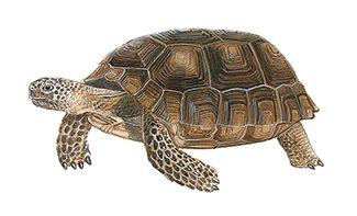 La tortuga de tierra