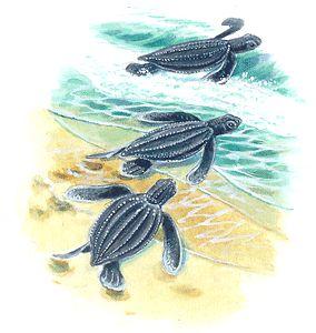 Tortugas jóvenes