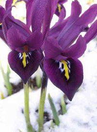 Violeta-perfumado Iris