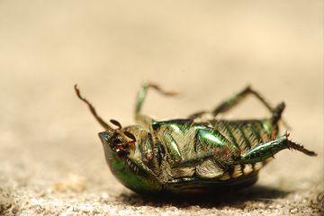 Un escarabajo muerto boca abajo en el suelo