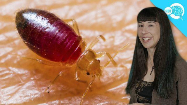 BrainStuff: ¿Cómo funcionan los insectos de cama?