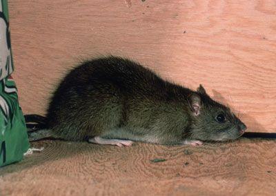 Rata en busca de un hogar.