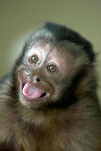 Minnie, un mono capuchino