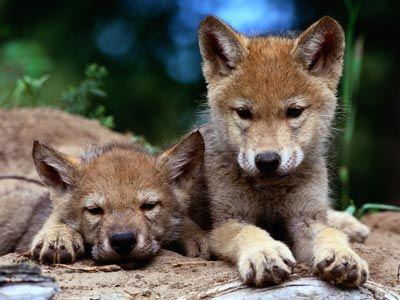 Fotografía - ¿Por qué los lobos haciendo una reaparición en los estados unidos?