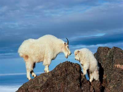 cabras de montaña en el acantilado