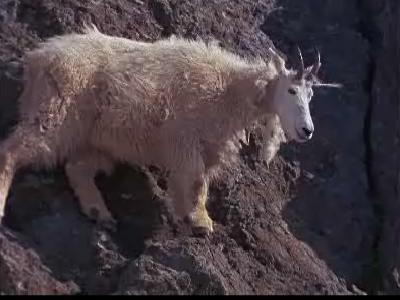 Ganadores Natural Born: Mountain Goats