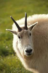cuernos de cabra de montaña