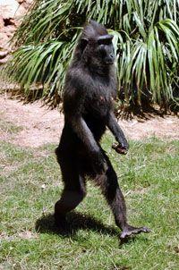 ¿Por qué los seres humanos caminan en dos patas?