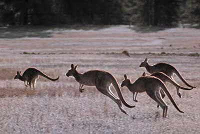 manada de canguro