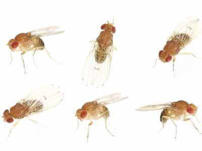 mosca de fruta