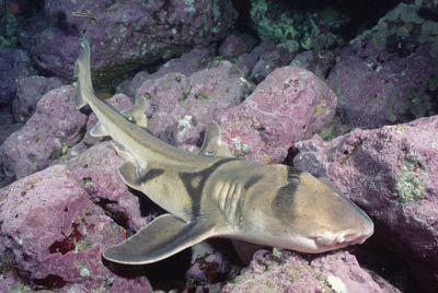 puerto jackson tiburón