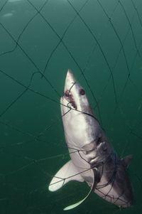tiburón atrapado en la red