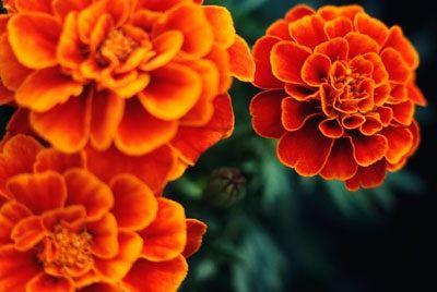 Amarillo a Flores naranjas anuales